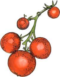 tomate_(eurocron)